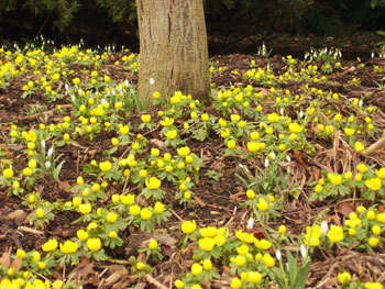 yellow-aconite